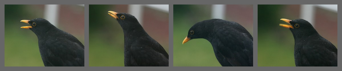 4 photos of the same blackbird singing