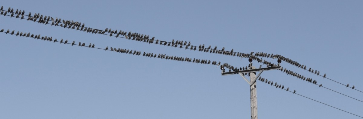 starlings on telephone wires